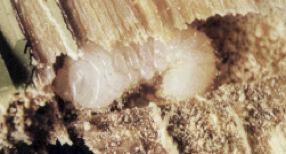 carcoma-1