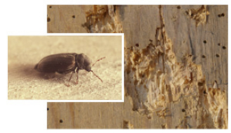 Ambicastell tratamientos contra carcoma for Carcoma de la madera